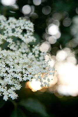 Holunderblüten im Sonnenuntergang - p533m1556539 von Böhm Monika