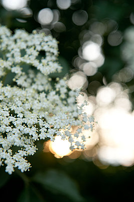 Twig of elderflowers at sunset - p533m1556539 by Böhm Monika
