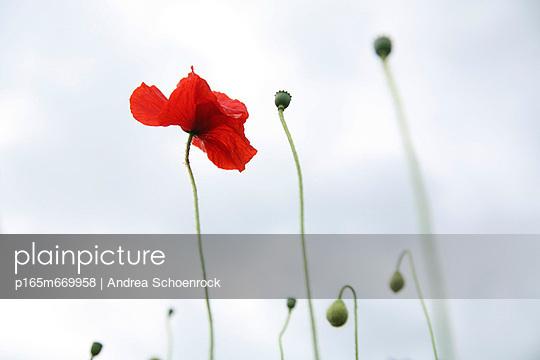 Mohnblumen - p165m669958 von Andrea Schoenrock