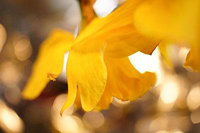 Daffodil - p1620m2270131 by Cornelia Greil