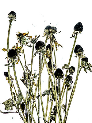 Dried flowers - p401m1590145 by Frank Baquet