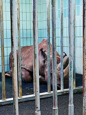 Nashorn hinter Gittern - p358m1541170 von Frank Muckenheim