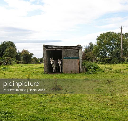 Two Donkeys - p1082m2021988 by Daniel Allan