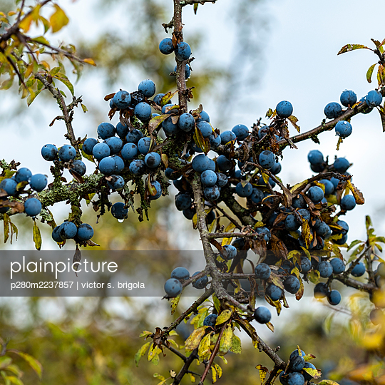 Blueberries, close-up - p280m2237857 by victor s. brigola