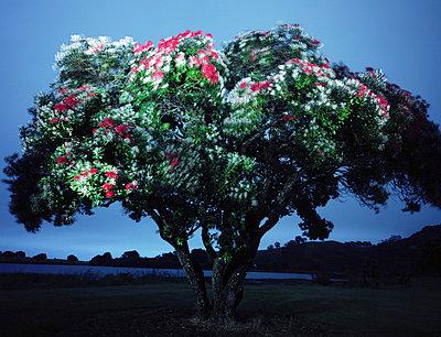 New Zealand Christmas Tree - p1016m792587 von Jochen Knobloch