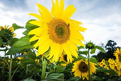 Sunflower farming - p1418m1572400 by Jan Håkan Dahlström