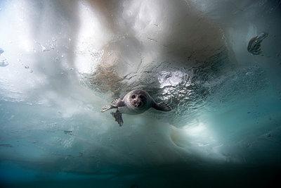 Russia, Lake Baikal, Baikal seal under water - p300m1053022f by Gerald Nowak
