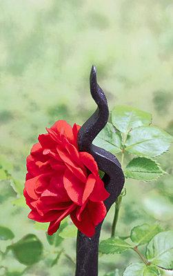 Rose mit Schmiedeeisen - p4500014 von Hanka Steidle