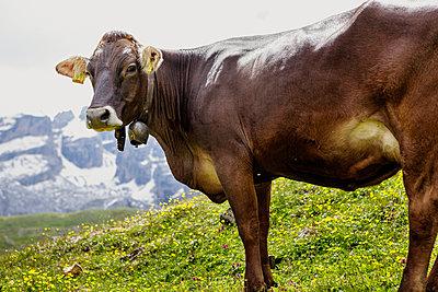 Cow - p322m938870 von Simo Vunneli