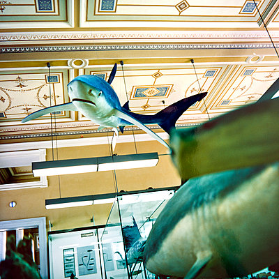 Shark, exhibit, Museum of Natural Science - p1299m2284946 by Boris Schmalenberger