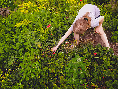 Girl is picking ripe strawberry at the garden in Ukraine - p1166m2290268 by Cavan Images