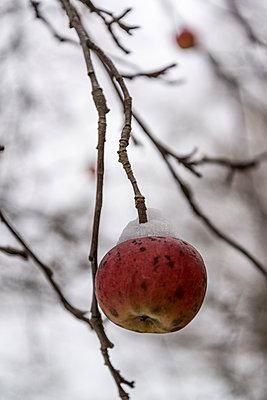 Ungepflückter Apfel am Baum - p1170m2064565 von Bjanka Kadic