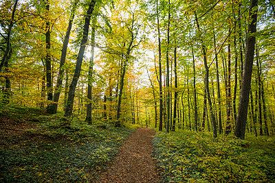 autumn forest, Upper Danube Valley, Beuron, Baden-Wuerttemberg, Germany - p1316m1422600 by Daniel Schoenen