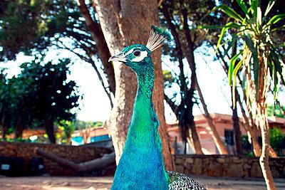 Peacock - p754m887020 by Valea Diller-El Khazrajy