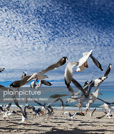 A flock of birds taking flight from a beach; gold coast queensland australia