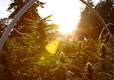 sunset on a northern california cannabis garden - p1166m2268361 by Cavan Images
