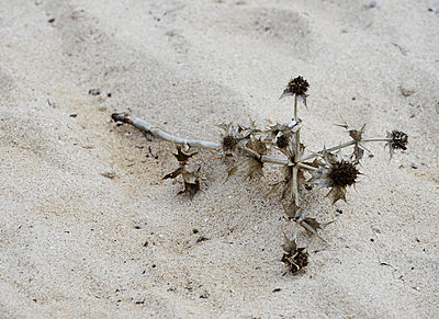 Withered thistle on beach - p1229m1497381 by noa-mar