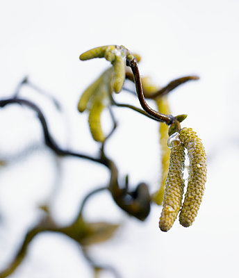 Hazel catkins - p312m2119903 by Johner