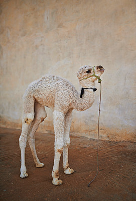 Camel - p390m1011447 by Frank Herfort