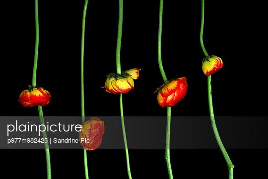 Ranunkeln - p977m982425 von Sandrine Pic