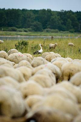 Storch in der Schafherde - p1273m1198502 von Melanka Helms