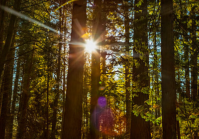 Sunlight shining brightly through the trees in a forest at Red Willow Park: Surrey; British Columbia, Canada - p442m2004089 by LJM Photo