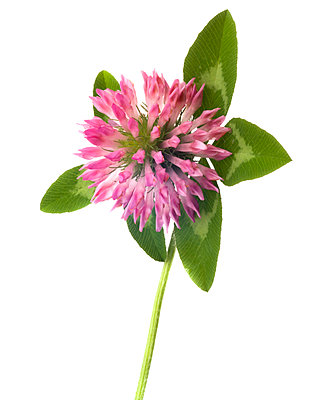 Flowering Clover against White Background - p694m2068353 by Lori Adams