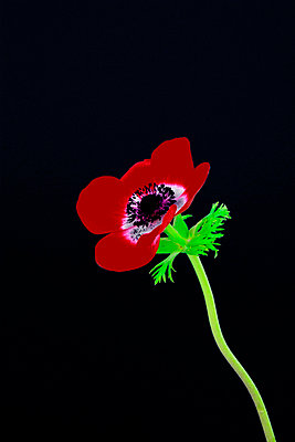 Anemone - p876m793811 by ganguin