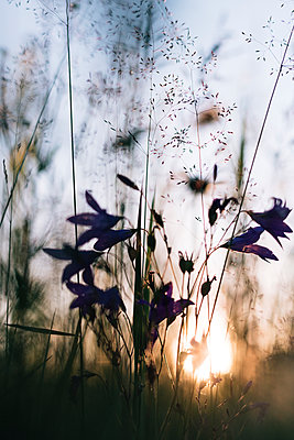 Close-up of flowers growing against sky at sunset - p300m2206701 by Ekaterina Yakunina