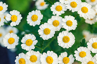 Chamomile - p330m949532 by Harald Braun