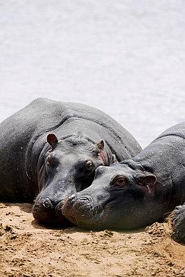 Hippos - p533m982486 by Böhm Monika