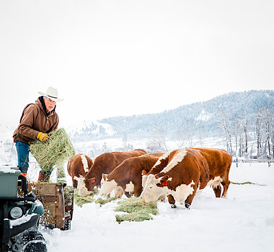 Caucasian farmer feeding cattle in snowy field - p555m1312062 by Inti St Clair