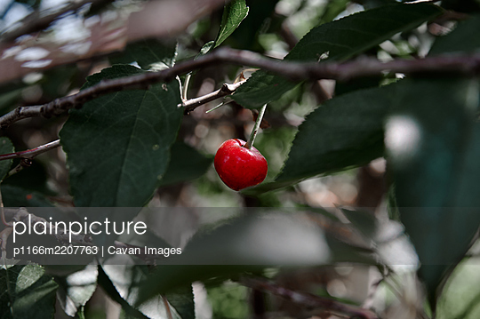 red cherry berry on a tree branch, cloudy weather - p1166m2207763 by Cavan Images