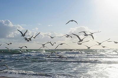 Germany, Mecklenburg Western Pomerania, Seagulls flying at Baltic Sea - p300m752512f by Jana Mänz