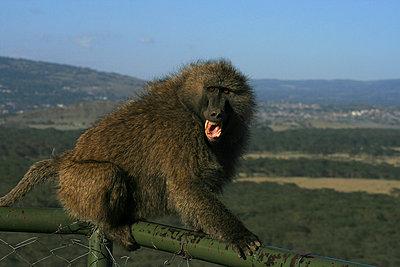 Monkey - p5330125 by Böhm Monika