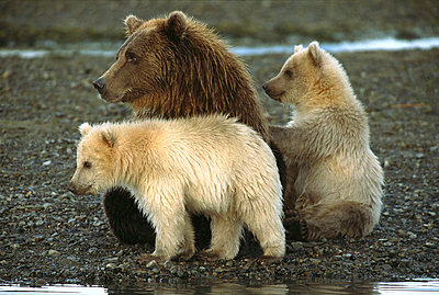 Grizzly Bear female with her two spring cubs watching another bear attentively - p884m864567 by Matthias Breiter