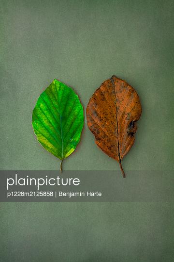 Pair of Autumn leaves - p1228m2125858 by Benjamin Harte