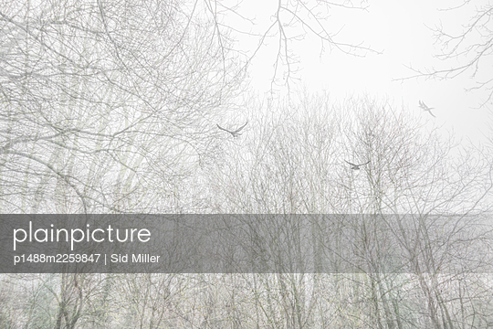 Ravens flying over forest in the fog - p1488m2259847 by Sid Miller