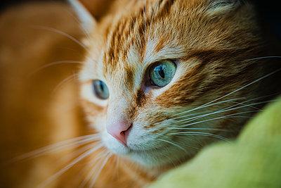 Portrait of brown cute cat - p300m2276317 by Ramon Espelt