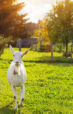 Curious white goat in field - p429m1155977 by Henglein and Steets