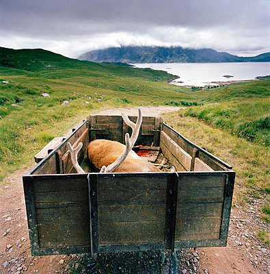 A Stag, a male deer, who has been hunted and killed is towed in a trailer in Knoydart in the highlands of Scotland, UK - p429m802861 by Cultura