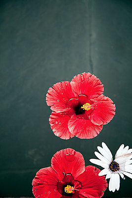 Floating Hibiscus  - p1248m1161867 by miguel sobreira