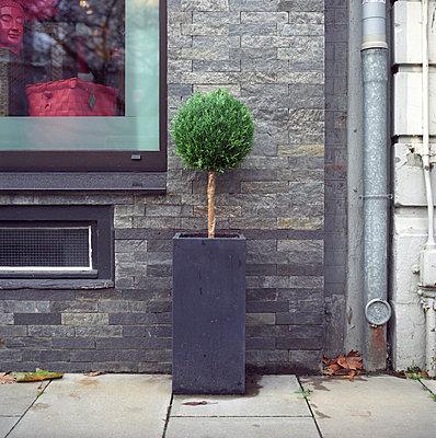 Buchsbaum - p154m668886 von Nele Heitmeyer