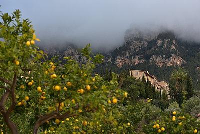 Lemon trees nearby Deia - p192m1200547 by Holger Pietsch