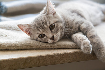 British shorthair kitten lying on window sill - p300m2012680 by JLPfeifer