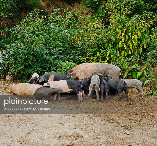 Schweine mit Ferkeln - p6880030 von Damien Lachas