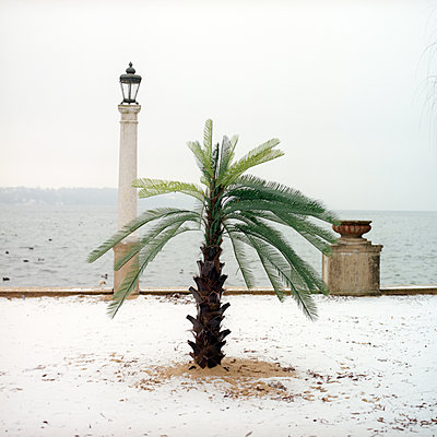 A palm tree in snow - p1610m2185270 by myriam tirler