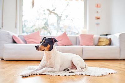 A terrier in the living room - p430m2233772 by R. Schönebaum
