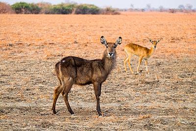 Weibliche Impalas im  Südluangwa-Nationalpark - p842m1538222 von Renée Del Missier