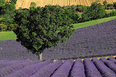 Lavendelfelder an einem Abhang - p1468m1527645 von Philippe Leroux